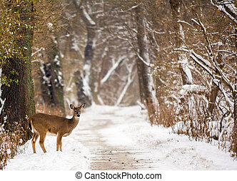 White Tailed Deer - Photo of a white tailed deer on a snowy...