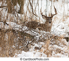 White Tailed Deer Buck - Photo of a beautiful white tailed...