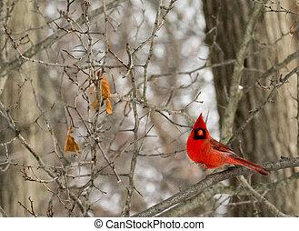 Cardinal - A closeup photo of a Cardinal bird in winter.