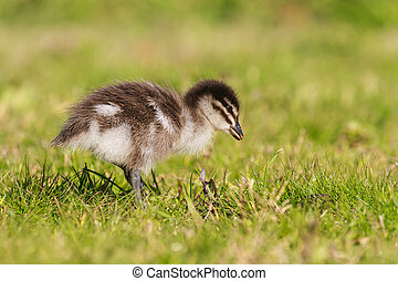 isolated duckling on grass