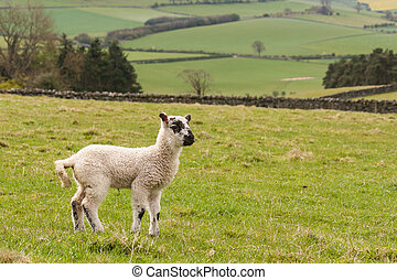 jumpy lamb in paddock