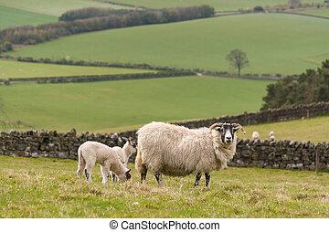 oveja, con, recién nacido, Corderos,