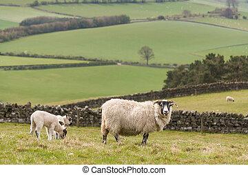 oveja, con, pasto, Corderos,