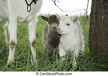 Spring near the bushes stands a goat with two young goats -...