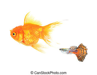 dourado, peixe, e, guppy, peixe, Isole, ligado, branca,...