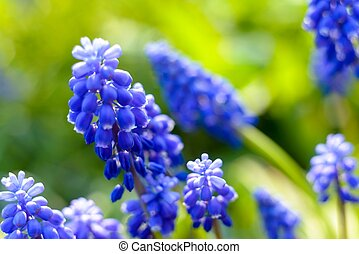 Small blue flowers at spring closeup photo