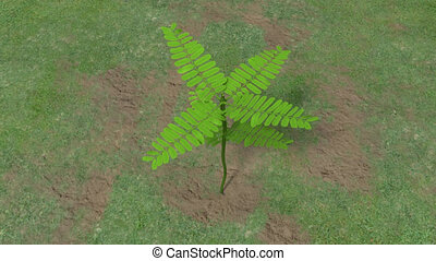 Touch me not plant - Mimosa pudica from Latin: pudica shy,...
