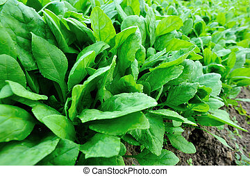 green spinach in growth at garden - green spinach in growth...
