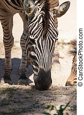 "Common Zebra, science names ""Equus burchellii"", eating grass..."
