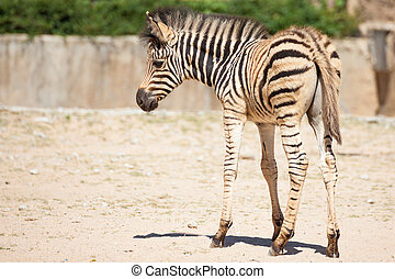 Common Zebra, science names quot;Equus burchelliiquot;, baby...