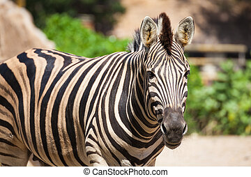 "Common Zebra, science names ""Equus burchellii"", stand on..."