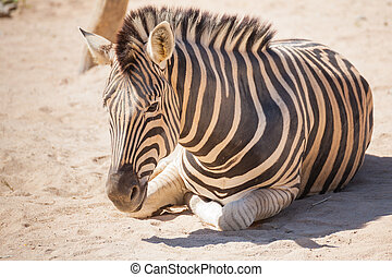 "Common Zebra, science names ""Equus burchellii"", lay down on..."