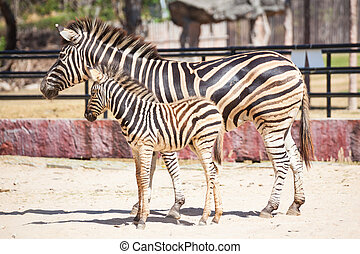 Common Zebra, science names quot;Equus burchelliiquot;, mom...