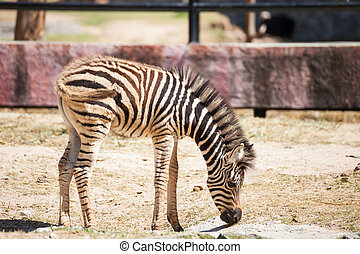 "Common Zebra, science names ""Equus burchellii"", baby stand..."