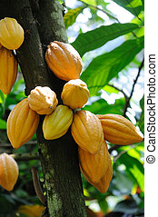 Cocoa pods on tree