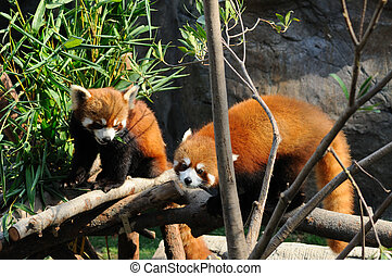 Red panda eating fresh bamboo
