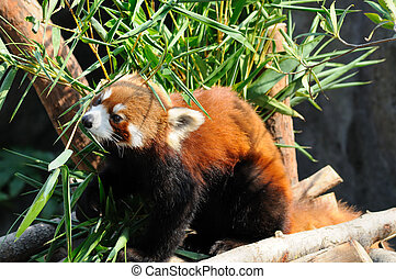 Red panda eating fresh bamboo