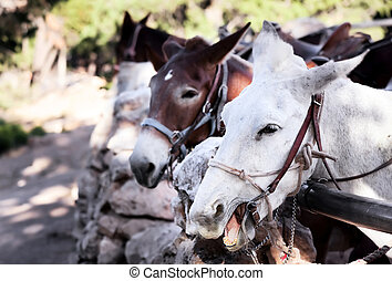 Noisy mules near the Grand Canyon - Noisy pack mules in a...