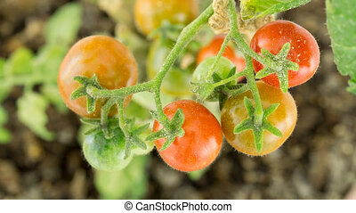 Branch with tomatoes ripening, time lapse - Closeup of Dirty...