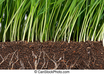 Green grass - Bright green grass with roots in the organic...