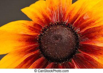 Rudbeckia (Coneflower) Close-Up - A close-up shot of...
