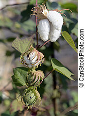ASIA THAILAND ISAN AMNAT CHAROEN - cotton plants near the...