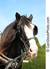 Shire Horse - Head of a thoroughbred Shire horse wearing...