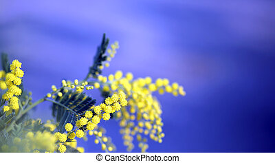 branch of mimosa flowers yellow in March and the blue sky in...