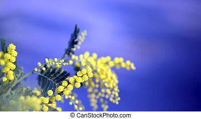 ramo, di, mimosa, fiori, giallo, in, Marzo, e, il, blu,...