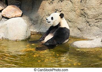 Giant panda sitting in water - Giant panda enjoying a bath