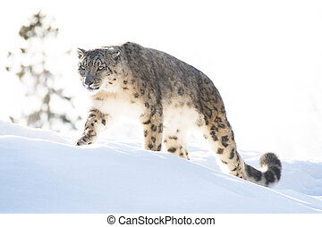 Snow leopard in the winter looking focused