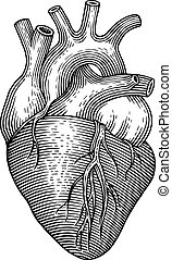 Human heart - Engraving vector heart isolated on a white...