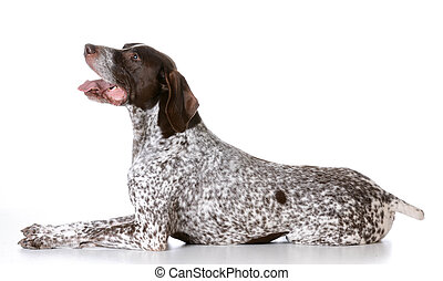 german shorthaired pointer laying down on white background