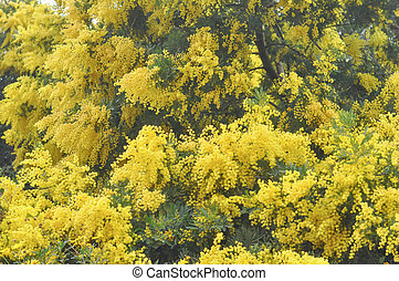 Mimose flower - Yellow Mimosa flowers of Acacia dealbata...