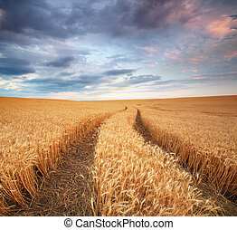 Pamorama meadow of wheat - Meadow of wheat and lane on...