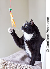 black and white cat playing with feather toy - pets and...