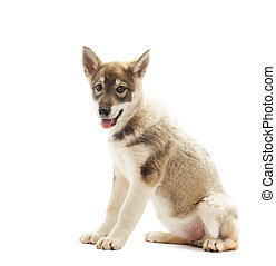 Siberian Laika puppy sits on a white background isolated