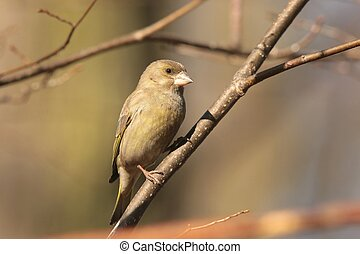 Greenfinch - Carduelis chloris - on a twig