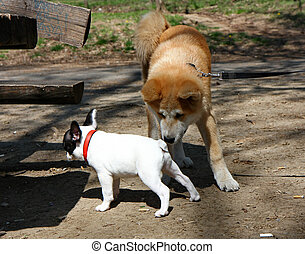 Socialization - Puppies of Akita Inu and French bulldog in...