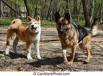 Socialization - German shepherd and puppy of Akita inu in...