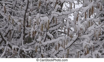 snow and nut tree catkins - spring snow snowfall and hazel...