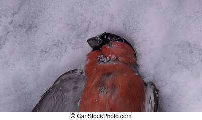 dead frozen bird bullfinch on snow