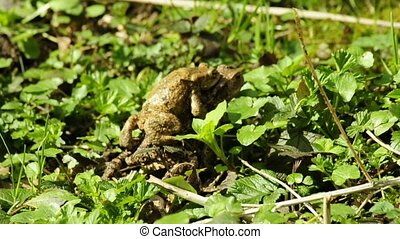 Common toad carrying its partner on the back