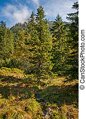 pine trees - beautiful pine trees in the Tatra Mountains