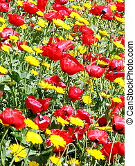 Ramat Gan Park Wild Flowers March 2007 - Carpet of Red and...