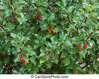 Holly Bush - Red berries on an evergreen holly bush (Ilex...