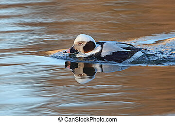 Male Long-tailed Duck Clangula hyemalis in Winter Plumage -...