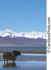 yak at Tibetan holy lake