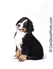 Mans best friend - Young Bouvier Bernois or Berner Sennen,...