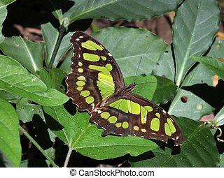 Malachite Butterfly (Siproeta Stelenes) - The Malachite...